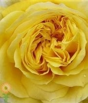 Rose, Garden-yellow