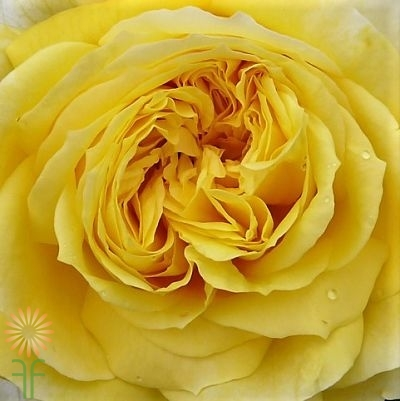 wholesale flowers | garden spray rose yellow