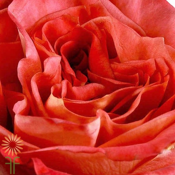 wholesale flowers | garden rose wild spirit
