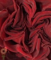 Rose, Garden S.A.-Campanella-red