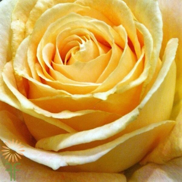 wholesale flowers | garden rose  candlelight