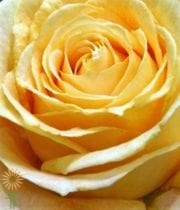 Rose, Garden S.A.-Candlelight-yellow/gold