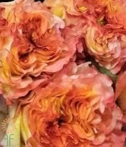 Yellow/Red Fuego Garden Roses