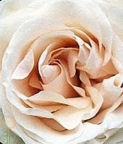 Rose, Garden CA-Mythos-cream-CPF