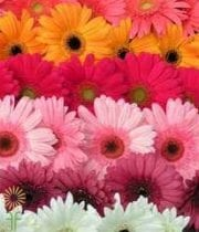 Wholesale Gerbera_daisy Assorted