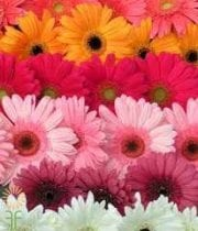Gerberas, Mini-assorted (10 Stems)