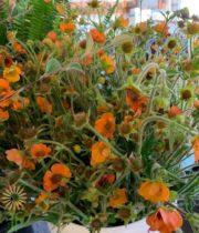 Orange Geum Mango