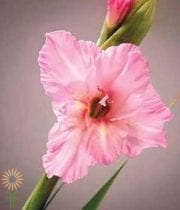 Gladiolus-light Pink