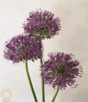 Purple Gladiator Allium