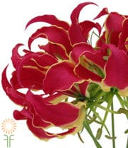 Gloriosa Lily, Tall-red (import)