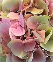 Hydrangea, Antique-green/pink