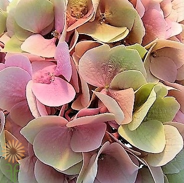 wholesale flowers | Hydrangea Antique- green pink