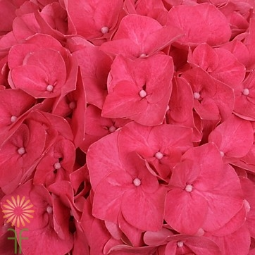wholesale hydrangea-hot pink