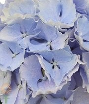 Light Blue Hydrangeas