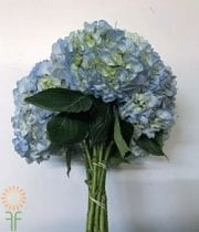 Light Blue Hydrangeas (10 Stems)