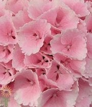 Light Pink Hydrangeas