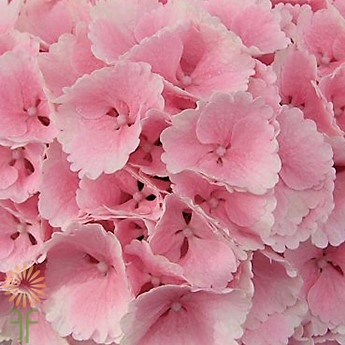 wholesale hydrangea-light pink