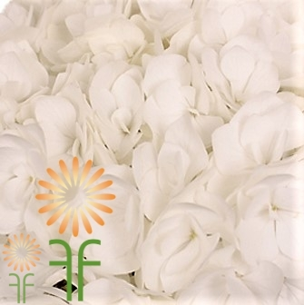 wholesale flowers | Hydrangea -jumbo white