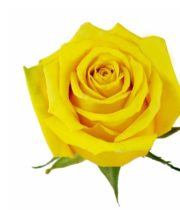 Yellow High&Exotic Roses