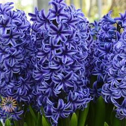 wholesale hyacinth-blue