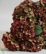 Hydrangea, Antique-green/red