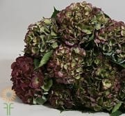 Green And Purple Antique Hydrangeas