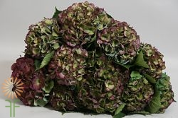 wholesale flowers | Hydrangea Antique- dark green