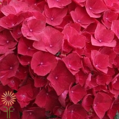 wholesale hydrangea-red