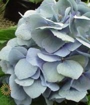 Blue Antique Hydrangeas