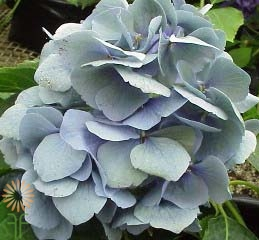 wholesale flowers | Hydrangea Antique- blue