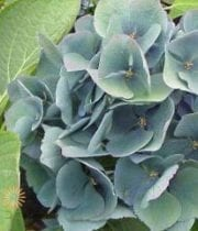 Green And Blue Antique Hydrangeas