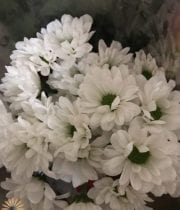 White Daisy Spray Mums