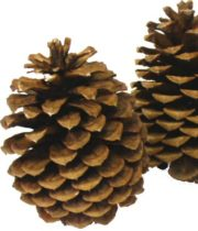 Jeffrey Pinecones X50