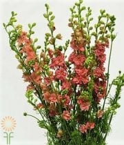 Larkspur-hot Pink