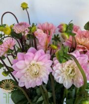 Light Pink Field Dahlias