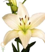 Cream Asiatic Lily