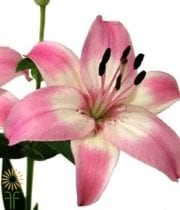 Light Pink Asiatic Lily