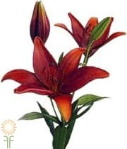 Lily Asiatic-red