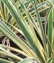 Lily Grass-variegated