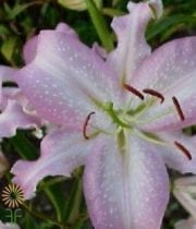 Light Pink Broadway Oriental Lily