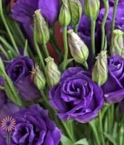 Lisianthus,purple