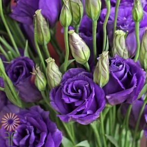 wholesale flowers | lisianthus-purple