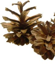 Lodgepole Pinecones, Mini X1,000