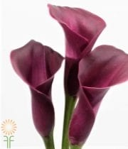Burgundy Mini Callas