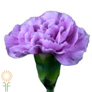 wholesale Mini-Carnation-Lavender