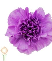 Light Purple Moonlite Carnations