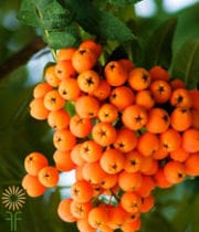 Orange Mountain Ash Berries