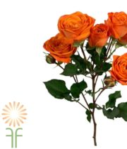 Orange Babe Spray Roses