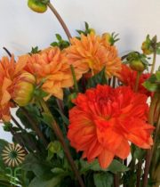Orange Field Dahlias