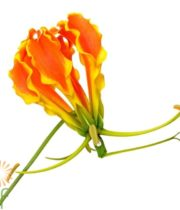 Orange Gloriosa Lily, Short